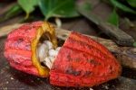 A cocoa pod contains 20 to 60 seeds, or beans, which is the main ingredient in chocolate.