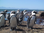 A colony of jackass penguins lives just south of Simonstown.