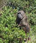 There are only about 200 baboons in the colony that lives at the Peninsula.