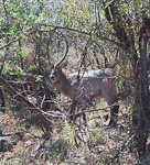 A waterbuck in some bushes.