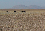 The last 150 kilometers ran through the Namib-Naukluft Park, where I passed these ostriches.