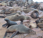 There is a large colony of Cape Fur Seals at Cape Cross. These animals are not really seals, but rather sea lions.