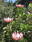 The national flower of South Africa - protea.