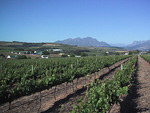Stellenbosch is surronded by vineyards producing some of the finest wine of South Africa.