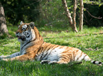 An adult male tiger normally weighs between 200 and 270 kg (450-600 pounds).