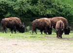 The American bison is the largest terrestrial mammal in North America. A bison can be up to 2 meter (6 feet), and weigh 900 kg (2000 pounds). There were once 60-100 million bison in North America, but by 1890, there were only 750 left. Now the population is around 350,000.