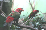 A purple-bellied lory.