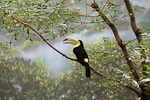 Keel-billed toucans live in the highest trees in the jungle, where they feed on fruits and insects.
