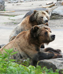 Grizzly bears. These bears can kill a bison with one blow of a pawn!