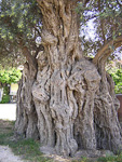 This olive tree is 600 years old.