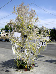 This tree is filled with pictures of Greek Cypriots missing after the Turkish invation.