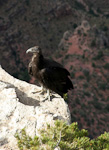 The California Condor was was almost extinct in 1980. The 22 last individuals were captured and a breeding program was instigated. The first condor was reintroduced to Grand Canyon in 1996, more than 100 years since last sighting in this area.