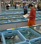 Potential buyers walk around to inspect the live fish in one of the halls.