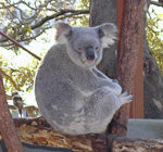 A koala in a tree. This is really a funny looking animal.