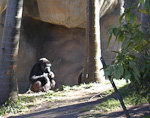 There were also some gorillas in Taronga Zoo. I don't think these are found in the wild in Australia, but they are interesting creatures.