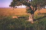 The cheetah is the fastest animal on earth. It can often be found in trees. This one just came down from one.