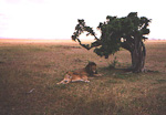The king and queen of the savanna. A straight lion couple resting under a tree.