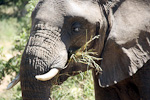Elephants use 16 hours every day eating, and consume about 200 kg of grass each day.
