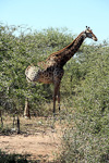 The giraffe is the tallest of all land-living animals - it can be up to 5.5 meters tall.