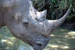 This is a White Rhino, one of two species living in Africa. It is distinguishable from the Black Rhino by the wide lips. It was originally named wyd (Afrikaans), but this was mistaken as white. The White Rhino eats grass, while the Black Rhino eats from trees and bushes. There is no difference in color between them.
