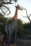 Each giraffe has a unique pattern of spots.